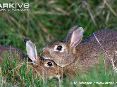 The emergence and spread of rabbit hemorrhagic disease type